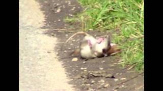 Weasel Mustela nivalis killing Brown Rat