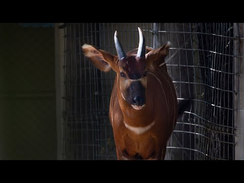 See Taylor Swift, the young bongo who escaped at the Sacramento Zoo