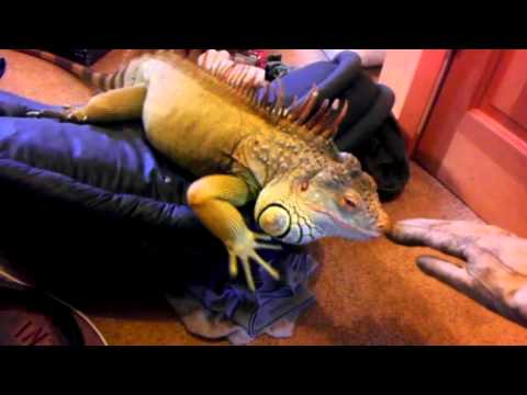 Dealing with Iguana Aggression
