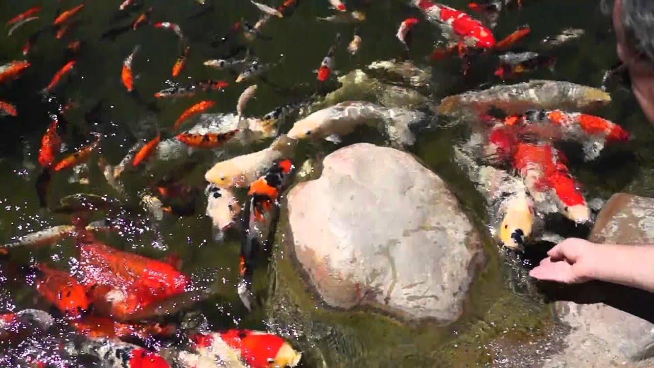 Cal State Long Beach Japanese Garden Koi - YouTube