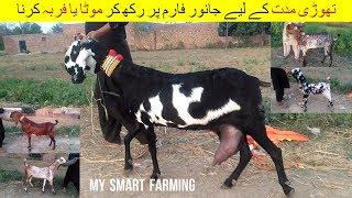 23 | Goat Farming in Pakistan |   جانور خریدنے کا فن اور بکرے موٹے کرنے کا طریقہ کار | Episode 6