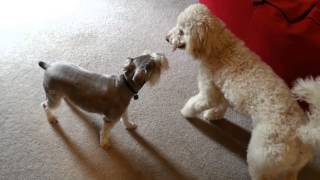 Australian Labradoodle Playing With Miniature Schnauzer