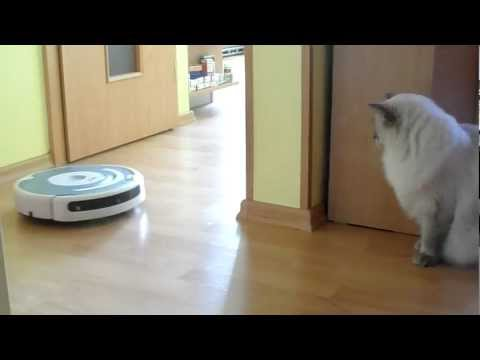 Ragdoll Cat and iRobot Roomba: First impression