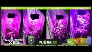 Culture en intérieur de piments sous SpectraMODULE X85 BloomLED - FloraLED
