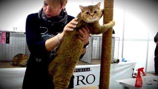🐱 Золотая БРИТАНКА 👍 СУПЕР Шикарная Кошка Британская Порода | ПОРОДЫ КОШЕК