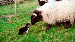 Man's Best Workmate  Border Collie puppies | Big Week on the Farm | RTÉ One