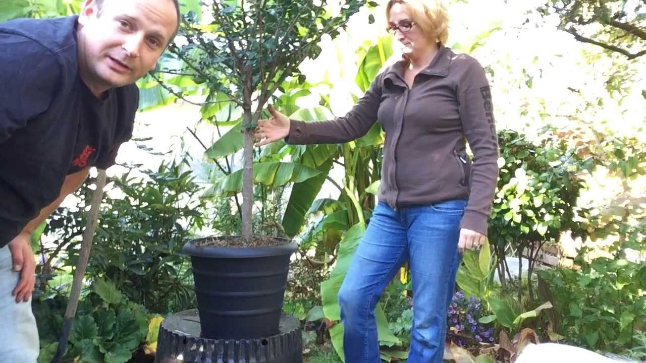 Fall Gardening Pt 13 Turning Tropical Hibiscus Into A House Plant