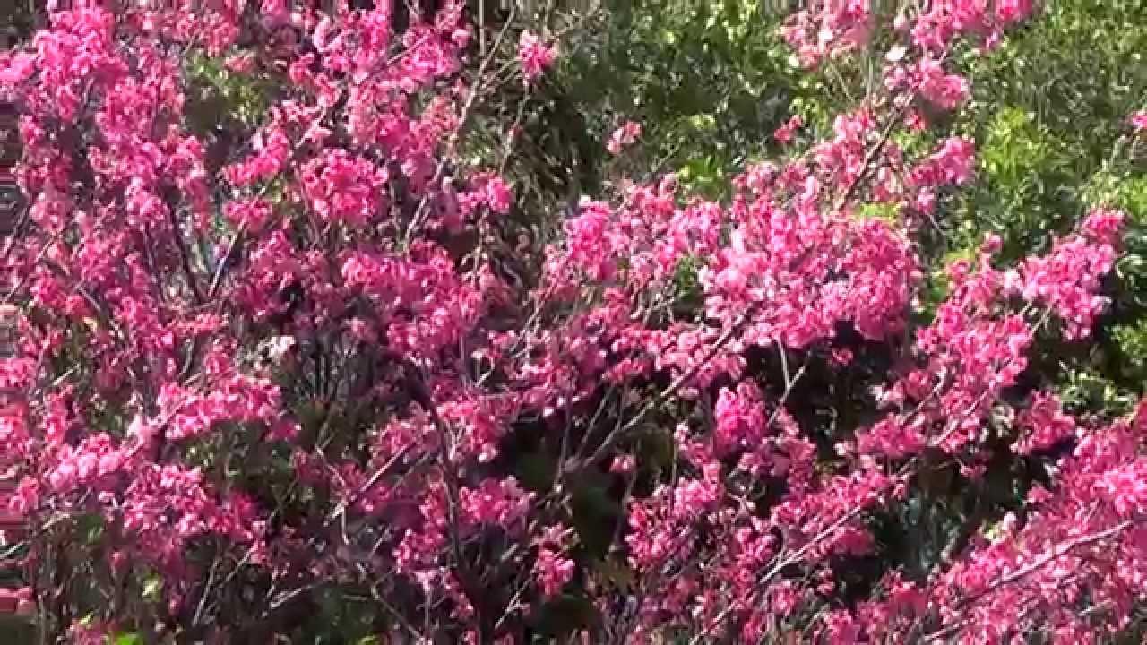 rvore cerejeira   sakura meu jardim   youtube