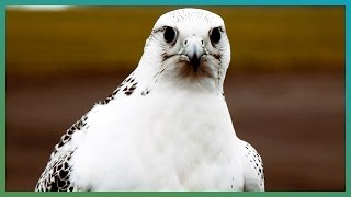 How Fast Is A Gyrfalcon? | Earth Unplugged