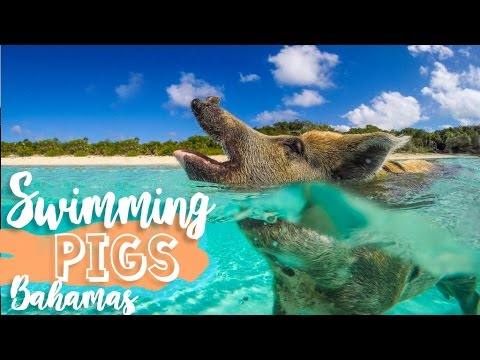 Swimming Pigs of the Bahamas! - Exuma Cays