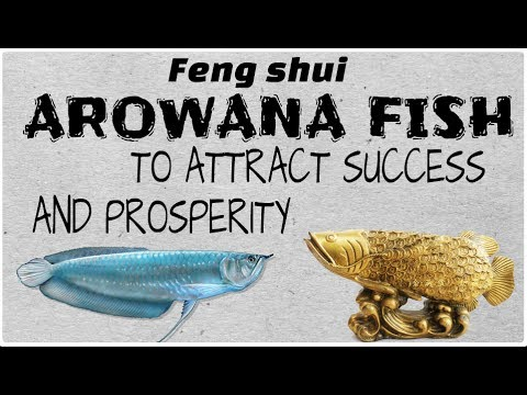 How Arowana Fish Brings Good Luck.