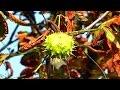 Колючки Каштана. Осенние Футажи. Плоды Каштана Осенью. Футажи для видеомонтажа