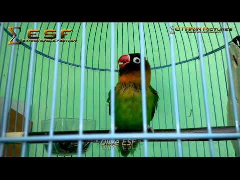Lovebird Ngekek Panjang & Gacor  by.ETARIN