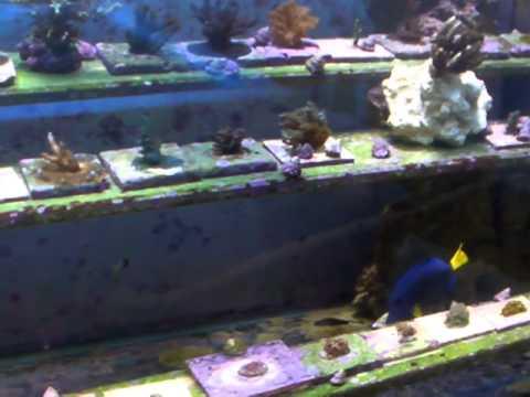 Treasure Coast Corals Insider View of Colony Tanks