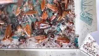 3年間放置したゴキブリホイホイ【閲覧注意】 thumbnail