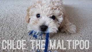 Meet Chloe The Maltipoo Puppy | Too Cute