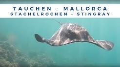 riesiger Stachel Rochen - Stingray Tauchen & Schnorcheln Mallorca Segeltour mit Stefan