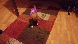 Chiguagua playing by herself in knitted sweater.