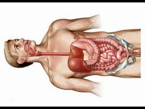 Human gastrointestinal tract anatomy - stomach, jejunum, ileum, colon