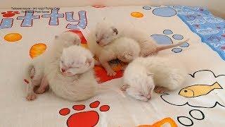 Тайские котята одни на пятый день их появления на свет! Тайские кошки - это чудо! Funny Cats