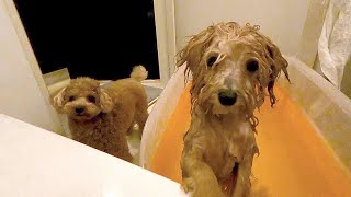 Toy poodle puppy panicked at her first bath, and her brother was really worried about her.
