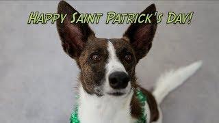 Happy Saint Patrick's Day!  Amazing Dog Training Tricks