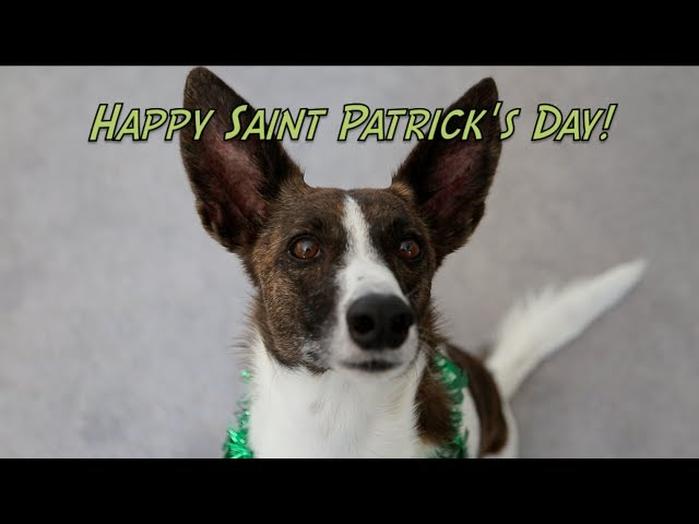 Happy Saint Patrick's Day!  Amazing dog training tricks