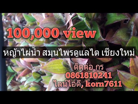 หญ้าไผ่น้ำ สมุนไพรรักษาโรคไต สกู๊ป เกษตรวิถีไทย 26 11 2558