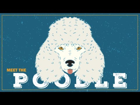Breed Spotlight: the Poodle