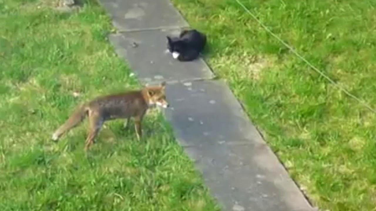 Fox vs cat. Curious fox and fearless cat.