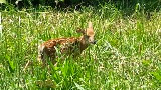 Baby Fawn Deer Crying Looking For Its Mother