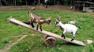 Balançoire à chèvres - Goat see-saw