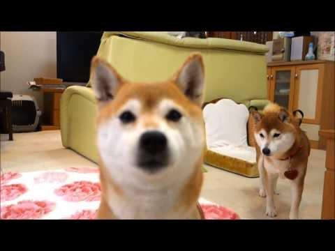 柴犬たちと猫のガウガウごっこ Shiba Inu and cat playing in the chase