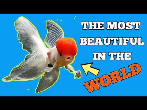 The Most Beautiful Red Cap Oranda Goldfish in the World