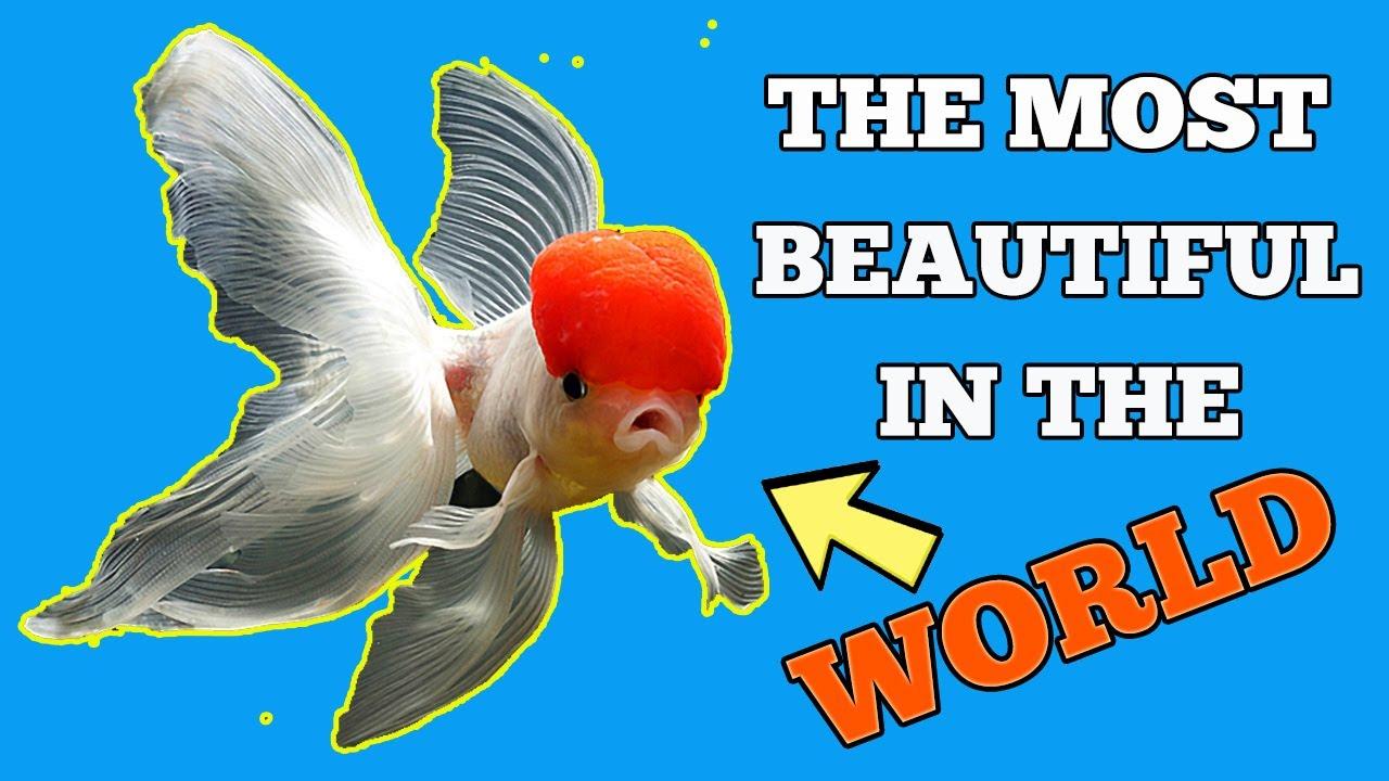 The most beautiful red cap oranda goldfish in the world for White cap fish
