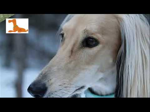 The most beautiful dogs in the world - The most valuable Saluki