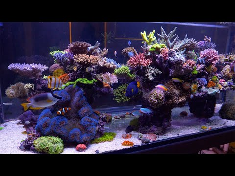 The Best Reef In Australia - Evan Luo's Glorious SPS Aquarium