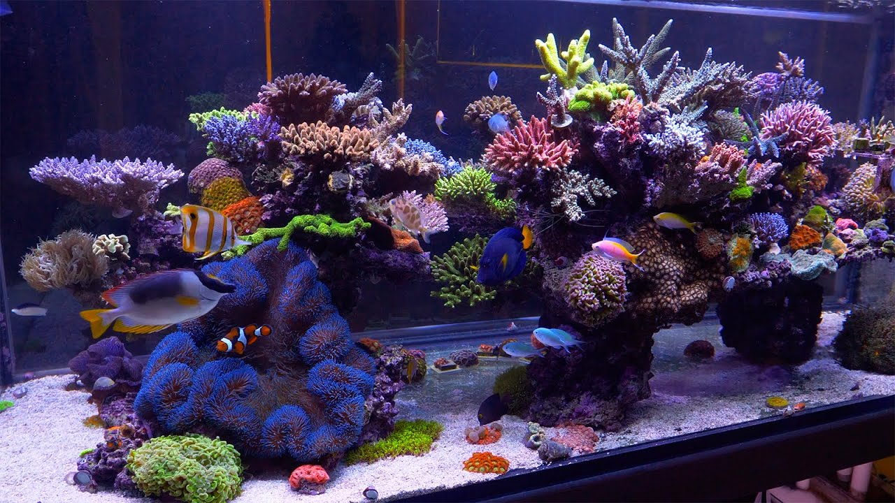 The Best Reef In Australia Evan Luo S Glorious Sps Aquarium Youtube
