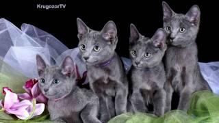 ТОП 5 Самых дорогих пород кошек.