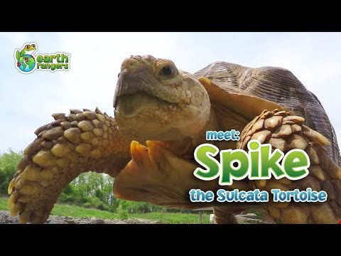 Meet Animal Ambassador Spike the Sulcata Tortoise