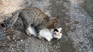 猫の交尾に至るまでの貴重な映像うちの猫が交尾されてる動画 #1 家のね...