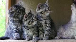 Британские котята в возрасте 10 недель (Litter-H2)