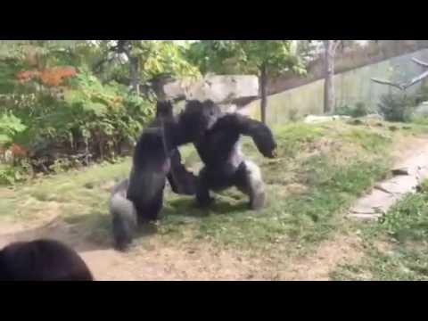 harambe and bantu fight