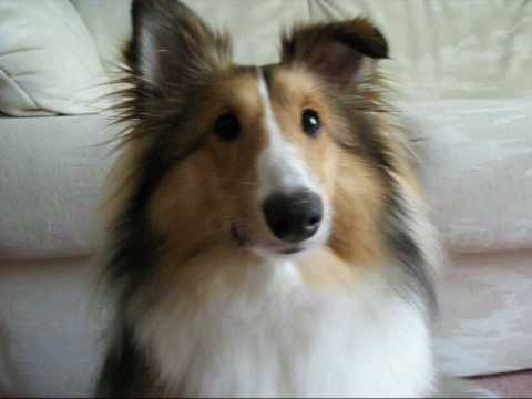 Sheltie Surprise Puppy Shetland Sheepdog Youtube