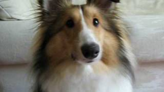 Sheltie Surprise - Puppy Shetland Sheepdog