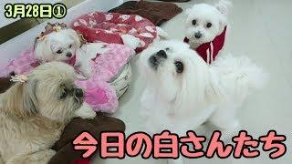 今日も白さんが3犬集まりました。 ラサアプソ チョコちゃん ミックス犬...
