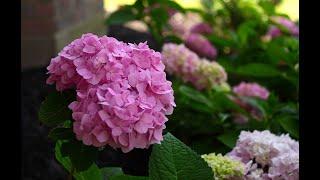 Что делать если гортензия плохо зимует??? Ответ в этом видео!/ #гортензия #цветение #зима #сад #мед