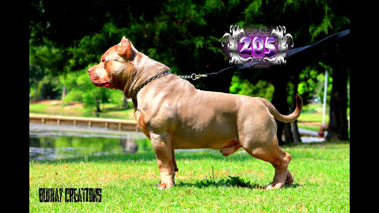 American bully, ABKC XL champion LOKI productions