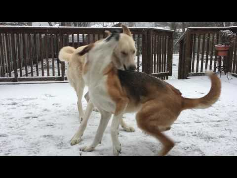 Akbash vs Husky mix
