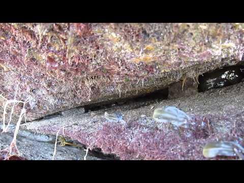 Wembury - Blennies - Rock Pool Ramble 07th August 2013
